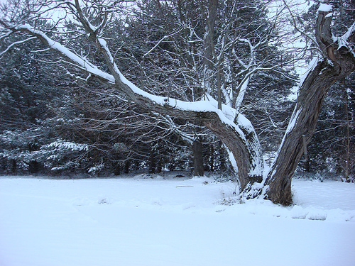 Catalpa Tree in Snow