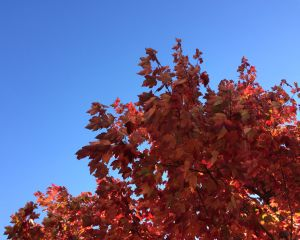Fiery Foliage Against the Blue Sky